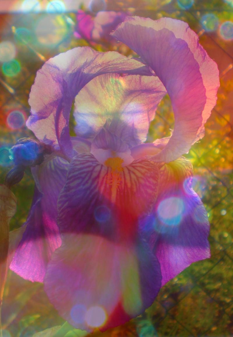 http://i42.servimg.com/u/f42/09/02/08/06/iris_b10.jpg