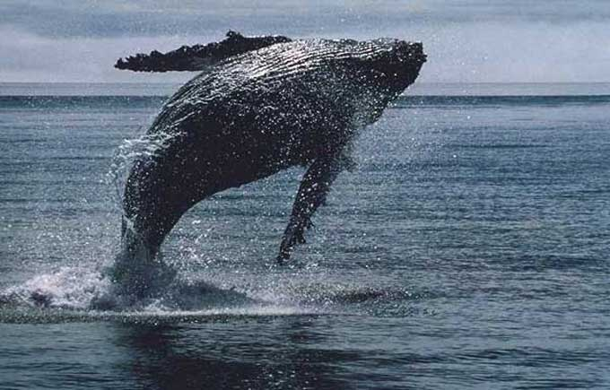 Sauvetage d'une baleine prise dans un filet de pêche