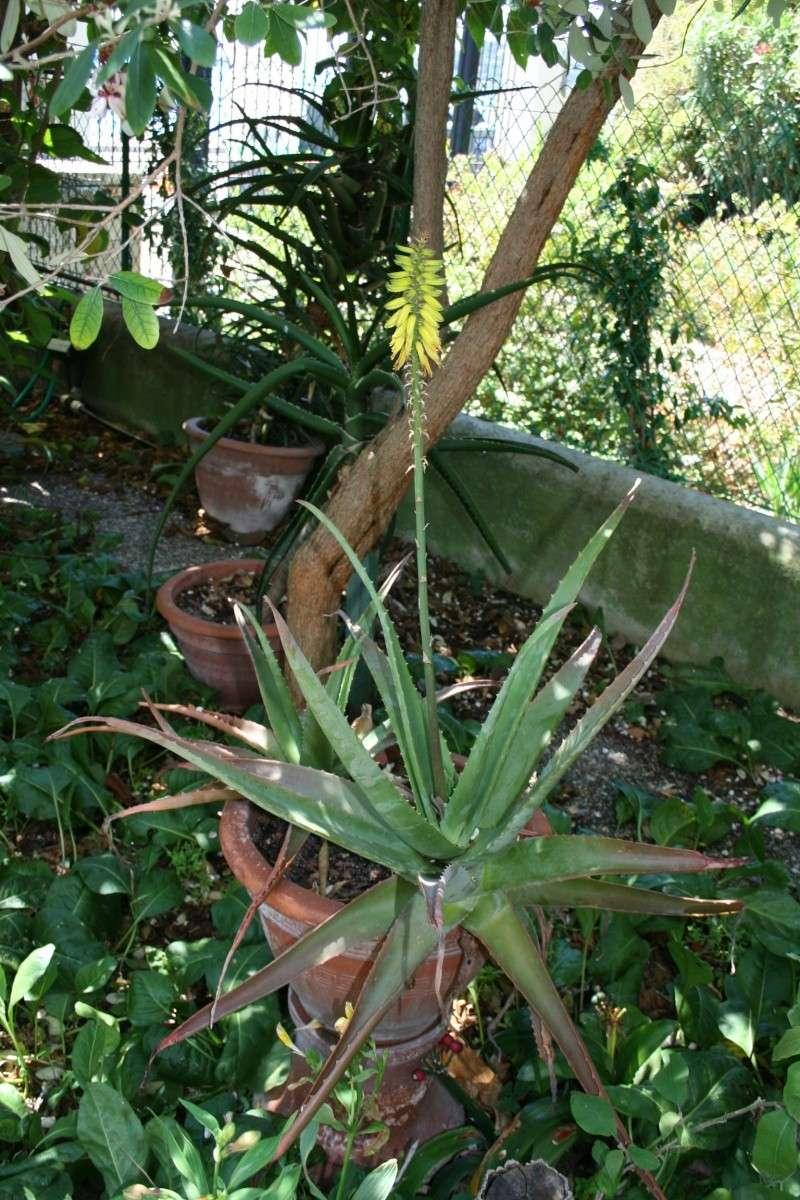Un vrai aloe vera en fleurs - Fleur d aloe vera ...