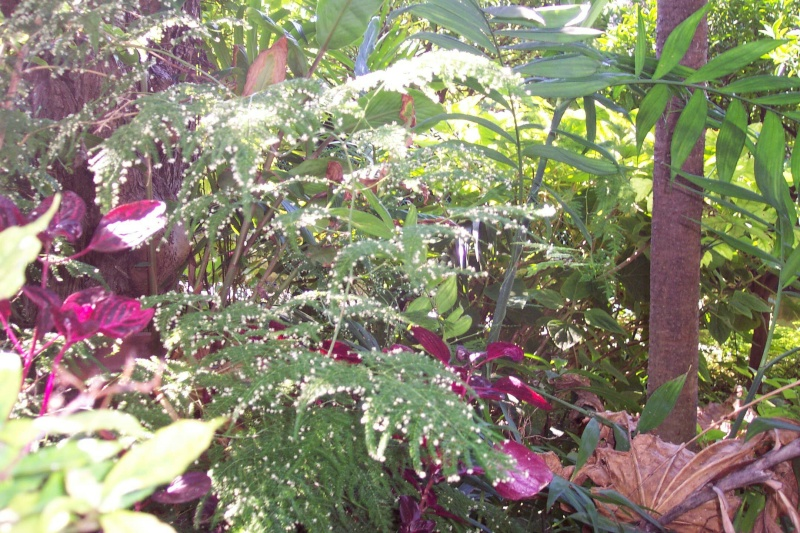 Identifiee aspargagus setaceus plante verte au for Plante verte jardin