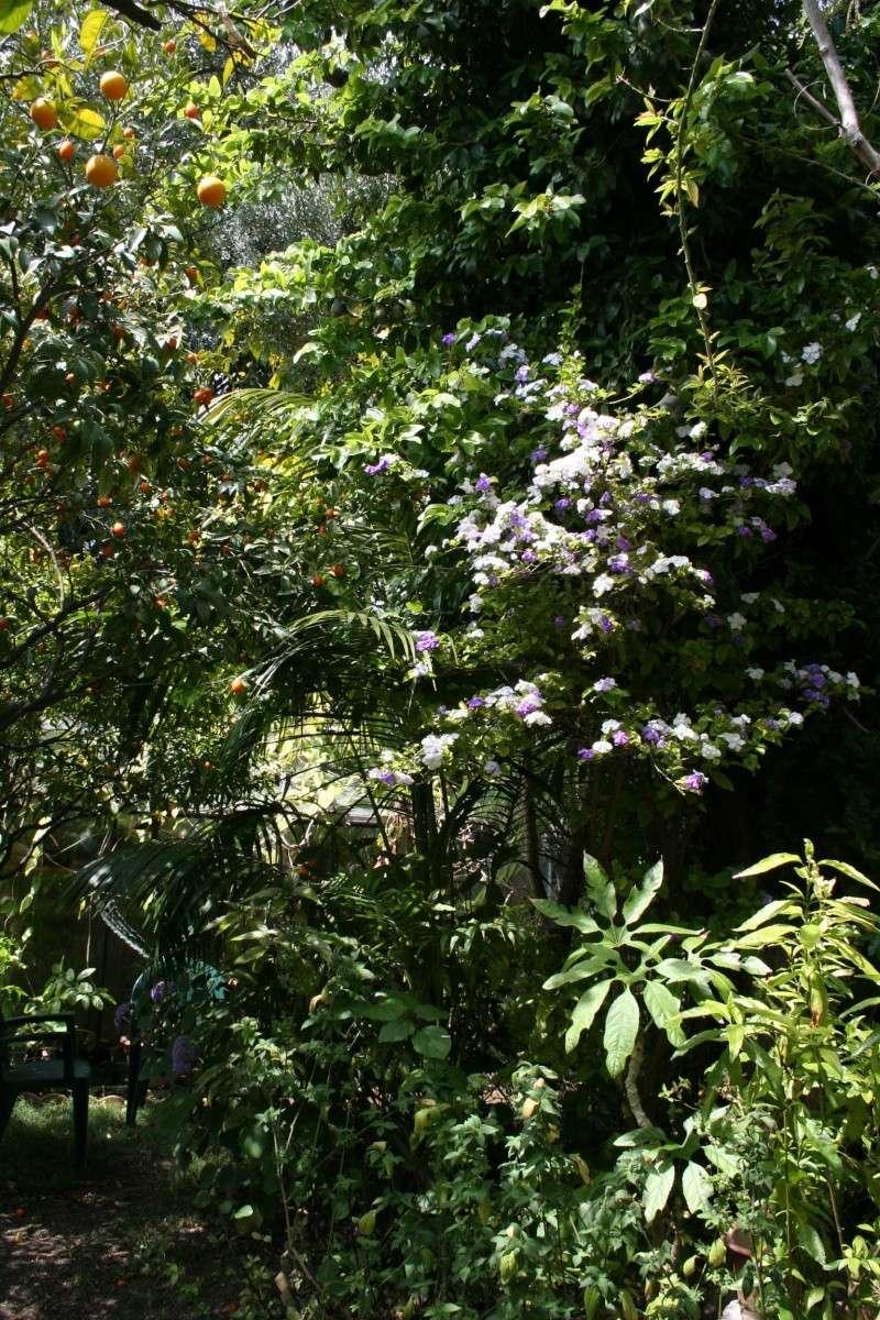 Extraordinaire jasmin du paraguay brunfelsia australis - Jasmin blanc d hiver ...