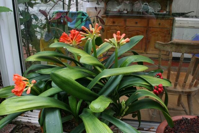 identifie clivia identification plante d 39 int rieur au jardin forum de jardinage. Black Bedroom Furniture Sets. Home Design Ideas