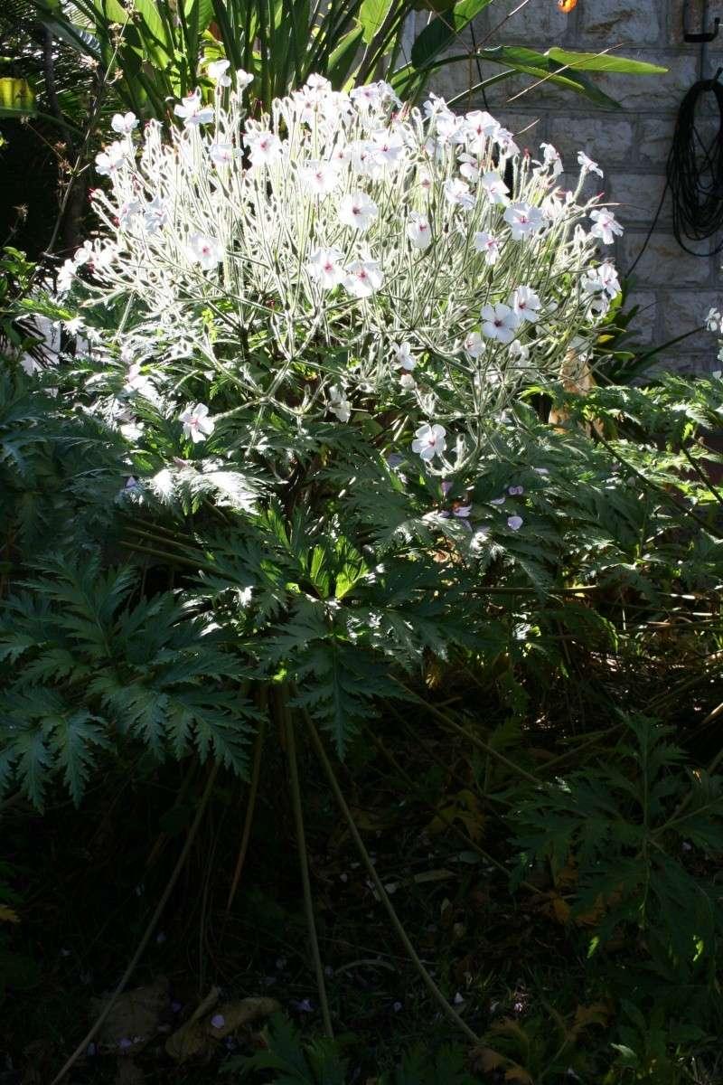 pour le plaisir effet de soleil sur geranium maderense blan au jardin forum de jardinage. Black Bedroom Furniture Sets. Home Design Ideas