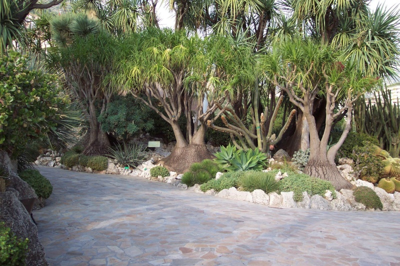 Nolina des plantes spectaculaires for Plantes belgique