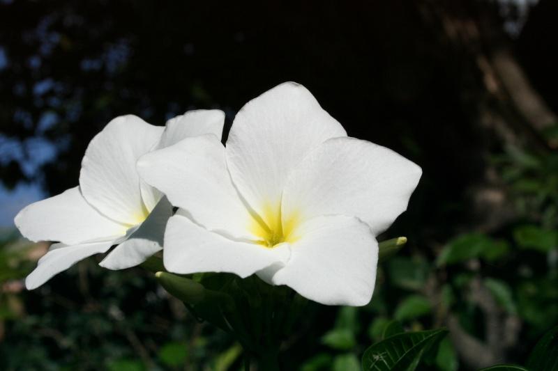 trois fleurs blanches cousines du frangipanier. Black Bedroom Furniture Sets. Home Design Ideas