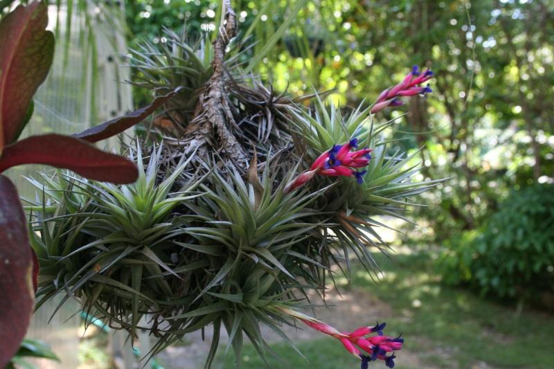 Identifiee tillandsia une plante inconnue au jardin for Cote hors gel