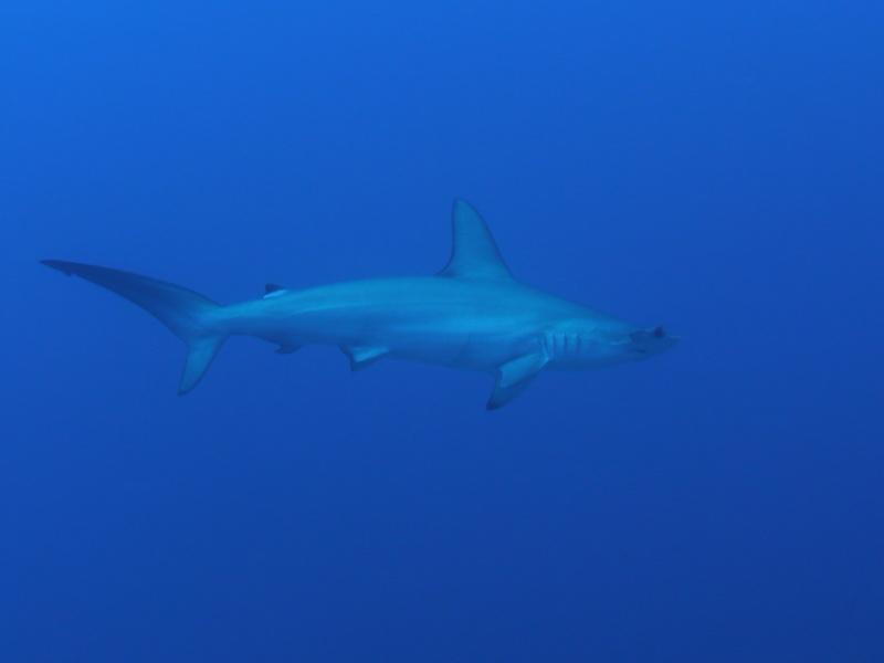 Gros poisson tr s gros requin longimanus forum for Gros poisson aquarium