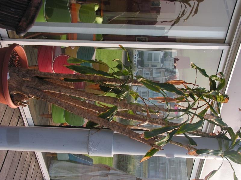 Conseil sur une plante photo dracaena fragrans for Conseil sur les plantes