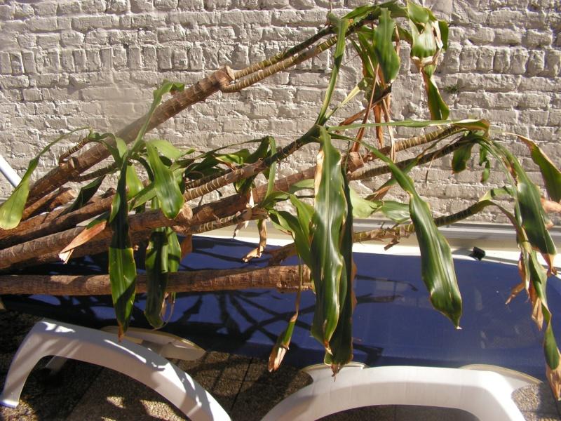 Conseil sur une plante photo dracaena fragrans page 2 for Conseil sur les plantes