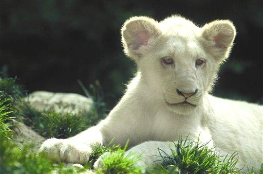 L 39 univers du zoo de beauval - Animaux du roi lion ...