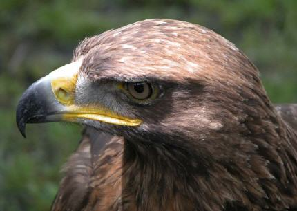 Les oiseaux de france - Comment dessiner un aigle royal ...