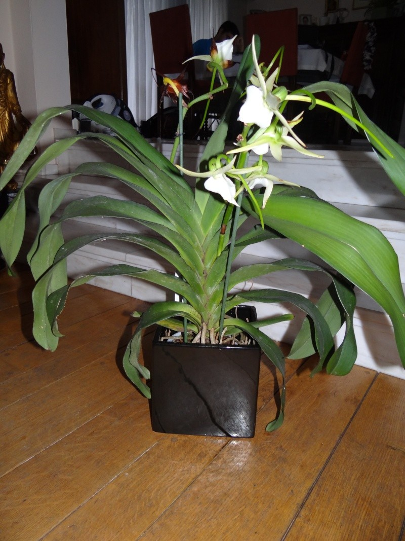 Angraecum veitchii feuille viros e questions for Nettoyer feuilles plantes