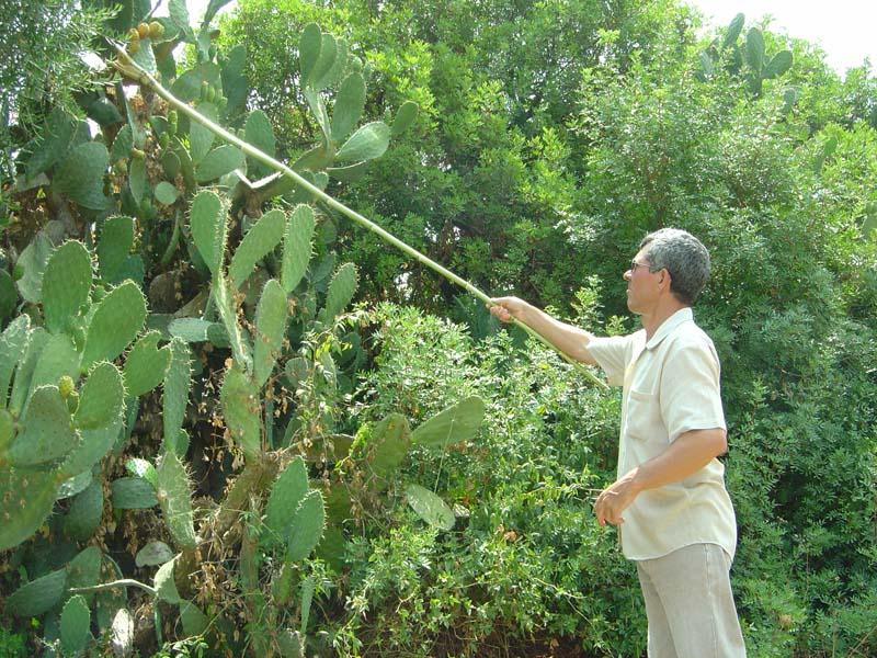 Les vendeurs de guergueb ou hendi figues de barbarie - Comment manger une figue de barbarie ...