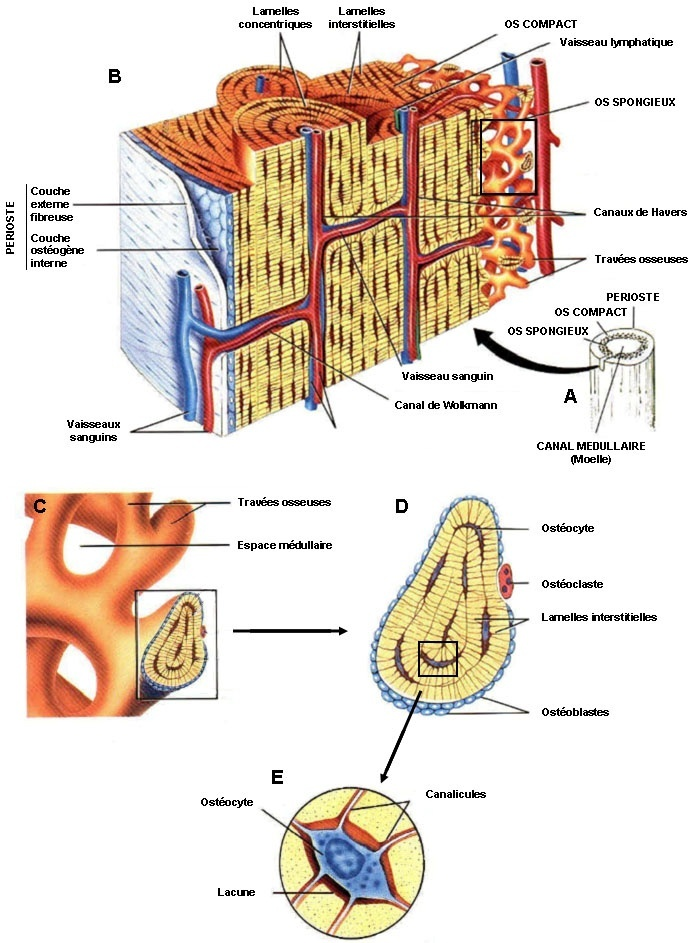 rapport collagène protéine