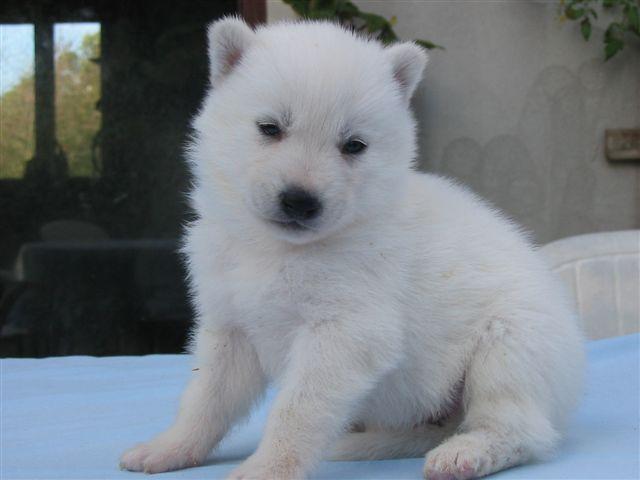 Exceptionnel Bébé husky blanc - Oowa SW99