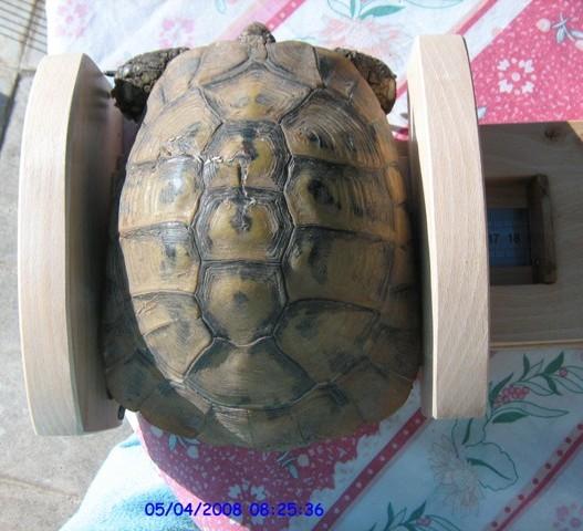 comment savoir le sexe de ma tortue de terre tunisienne. Black Bedroom Furniture Sets. Home Design Ideas