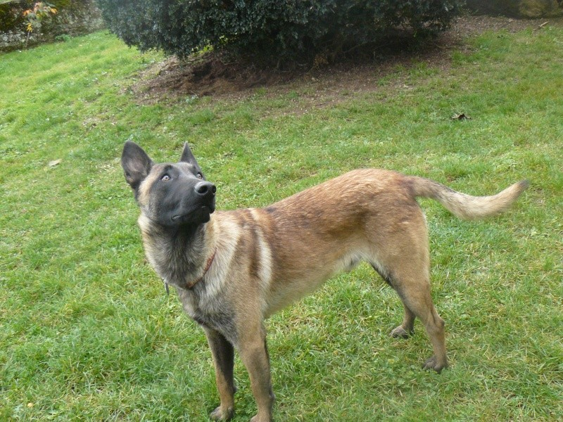 zeus berger belge malinois lof bient t 3 ans au spa de poitiers 86. Black Bedroom Furniture Sets. Home Design Ideas