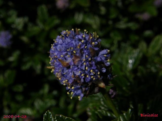 Céanothes. dans Fleurs et plantes 640_ce11