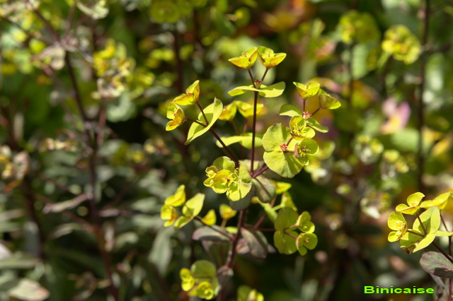 Mes euphorbes. dans Fleurs et plantes 640_eu14