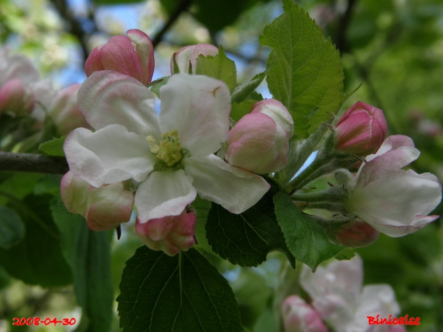 Pommiers d'ornement. dans Fleurs et plantes 640_po10