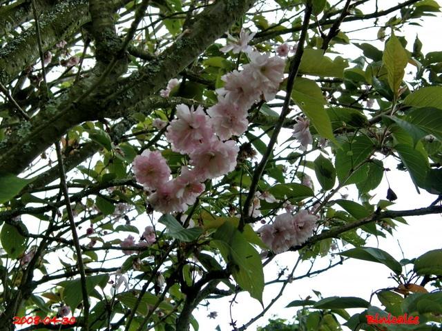Arbustes d'ornement. dans Fleurs et plantes 640_pr10
