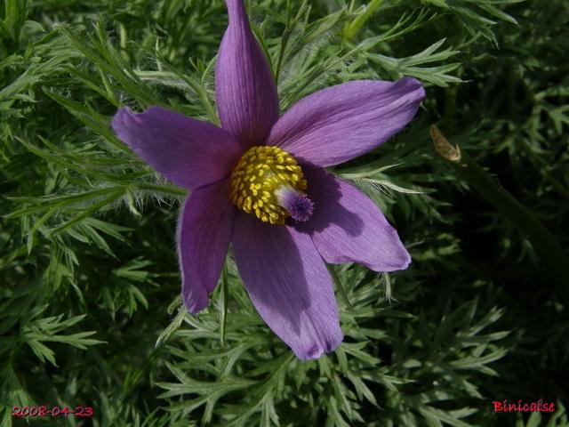 Anémone pulsatille. dans Fleurs et plantes 640ane10