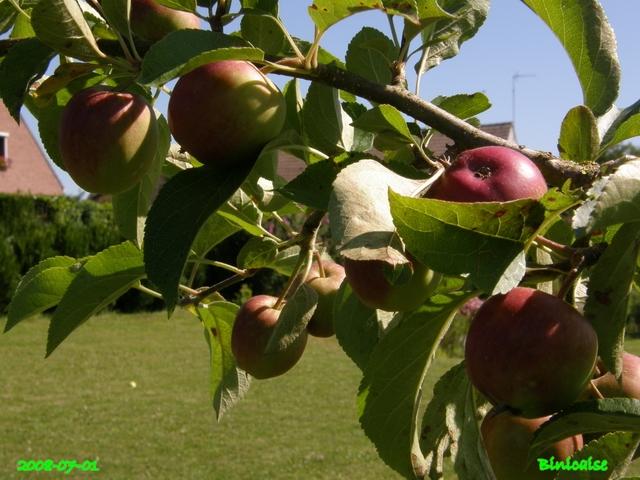 Pommiers en Picardie. dans Fleurs et plantes arbres10