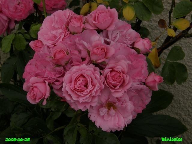 Les belles roses de ..... dans Fleurs et plantes belles23