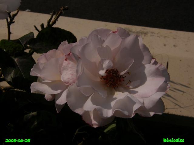 Belles roses en Picardie. dans Fleurs et plantes belles26
