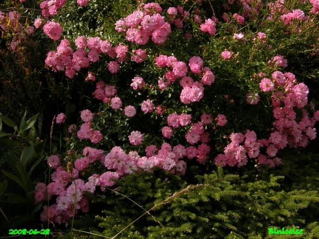 Roses en Picardie. dans Fleurs et plantes belles29