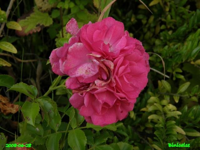 Roses picardes. dans Fleurs et plantes belles32