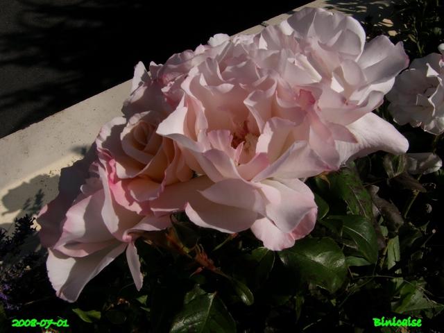 Encore quelques roses ... dans Fleurs et plantes belles36