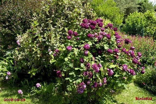 Les roses anciennes de mon Jardin. 1  dans Fleurs et plantes cardin12
