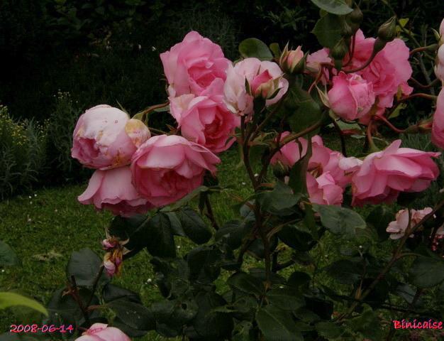 Rosier Centenaire de Lourdes. dans Fleurs et plantes centen11