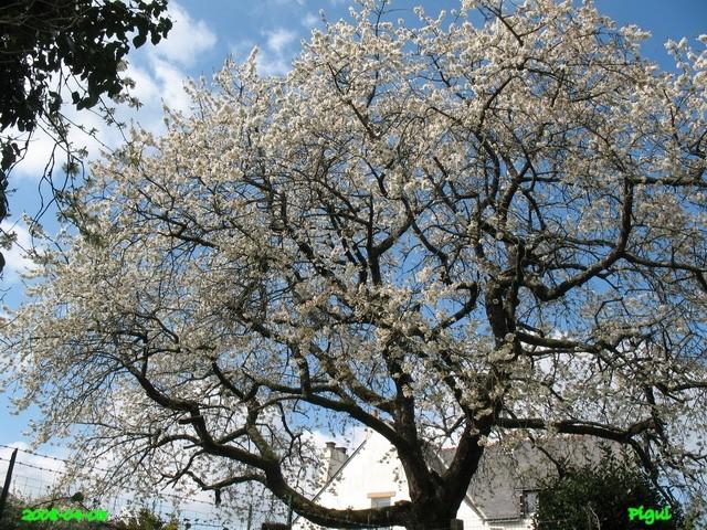 Cerisiers en fleurs. dans Fleurs et plantes cerisi10