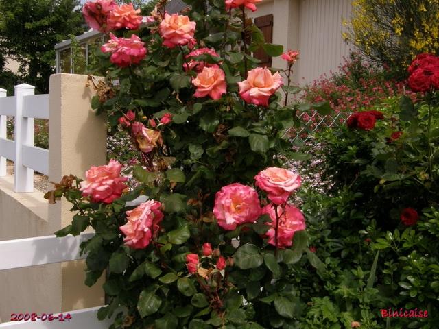 Rosier Christophe Colomb. dans Fleurs et plantes christ10