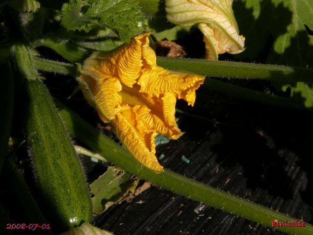 Petit potager, courgettes.... dans Fleurs et plantes courge10