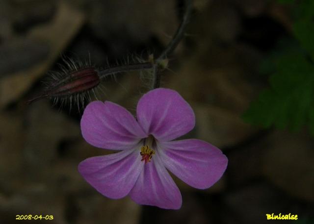 Fleurs de nos champs. dans Fleurs et plantes fleurs18