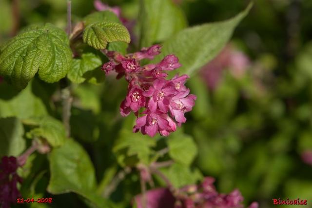 Groseiller à fleurs dans Fleurs et plantes fleurs23