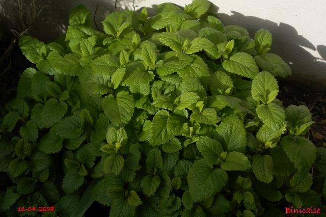 Quelques plantes aromatiques. dans Fleurs et plantes fleurs24