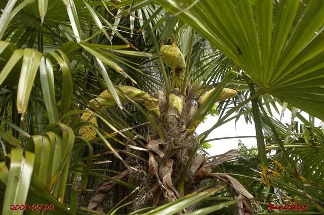 Fleur du  palmier chanvre. dans Fleurs et plantes fleurs26