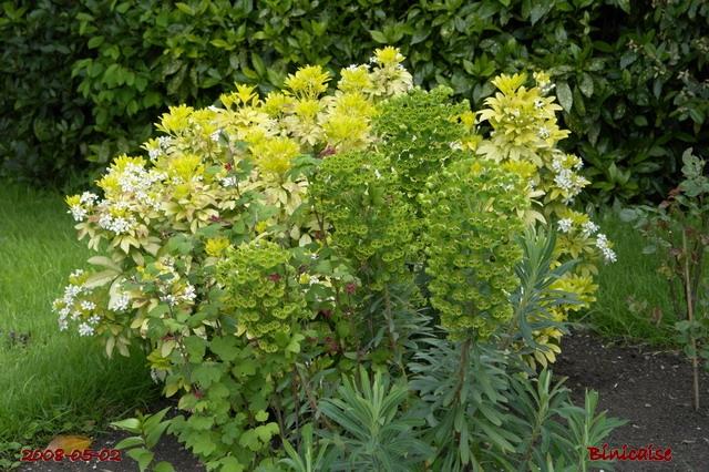 Euphorbes du Parc. dans Fleurs et plantes fleurs27