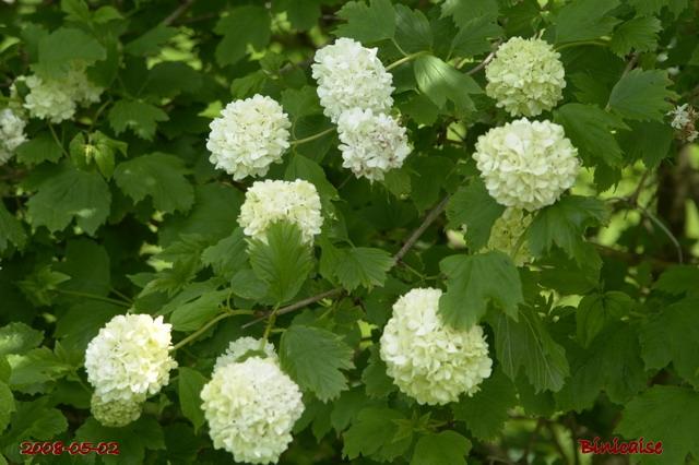 Boules de neige . dans Fleurs et plantes fleurs30