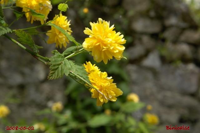 Corêtes du Japon dans Fleurs et plantes fleurs33