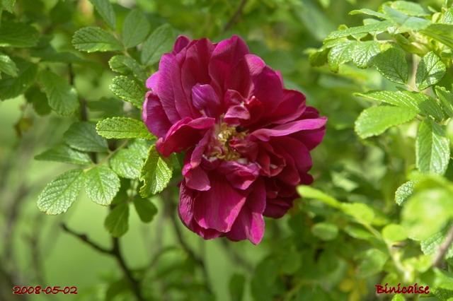 Rosiers moussus. dans Fleurs et plantes fleurs35