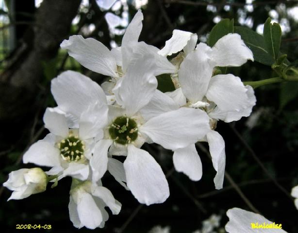 Les belles fleurs de nos haies. dans Fleurs et plantes haies_10