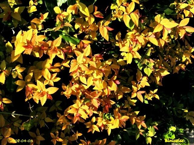 Haies flamboyantes. dans Fleurs et plantes haies_14