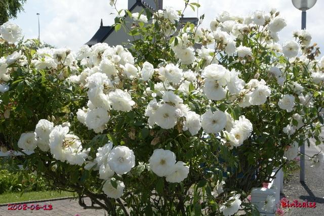 La saison du Blanc. dans Fleurs et plantes iceber12