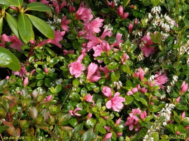 Le jardin mouillé....les azalées. dans Fleurs et plantes jardin10