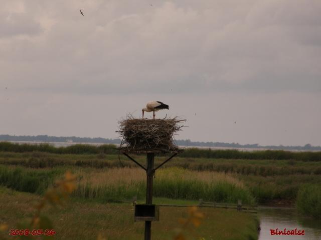 Cigogne dans la réserve de Moèze. dans Animaux la_cig10